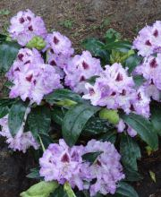 Rhododendron Blue Peter, Rhododendron Hybride Blue Peter
