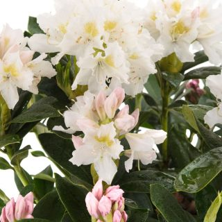 Rhododendron Cunninghams White / Rhododendron Hybride Cunninghams White