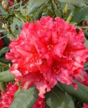 Rhododendron Mrs.P.den Ouden