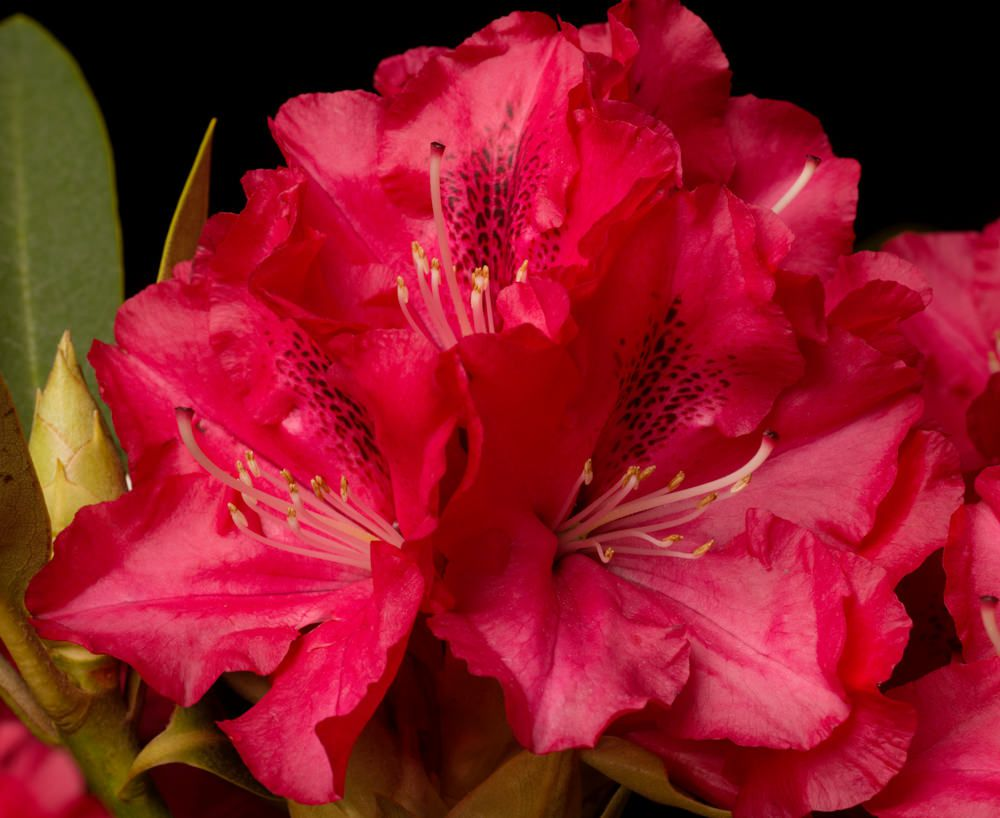 Rhododendron Hybride Wilgens Ruby