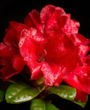 Zwergrhododendron Scarlet Wonder