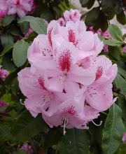 Rhododendron Furnivalls Daughter, Rhododendron Hybride Furnivalls Daughter