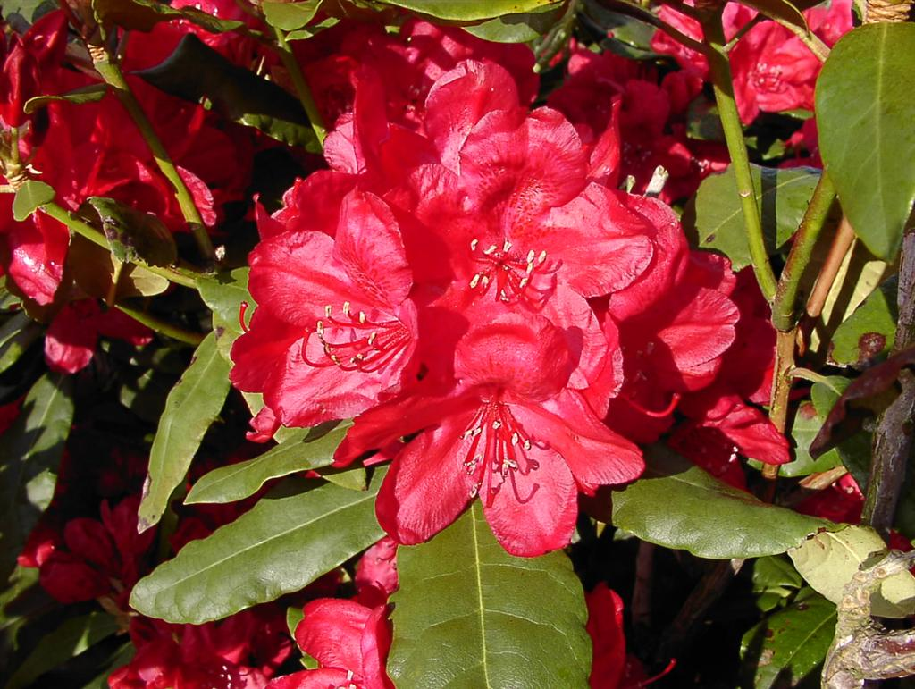 rhododendron hachmanns feuerschein rhododendron. Black Bedroom Furniture Sets. Home Design Ideas