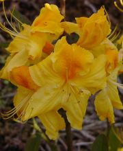 Rhododendron Goldpracht, Rhododendron luteum Goldpracht