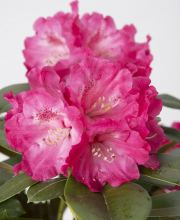 Rhododendron Morgenrot, Rhododendron yakushimanum Morgenrot