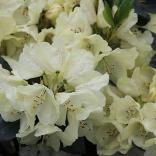 Rhododendron Goldkrone / Rhododendron Hybride Goldkrone