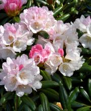 Rhododendron Koichiro Wada