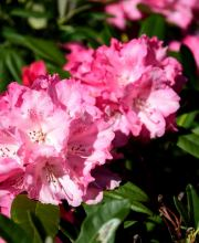 Rhododendron Rendezvous