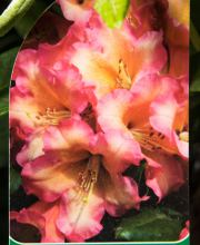 Rhododendron Lullaby