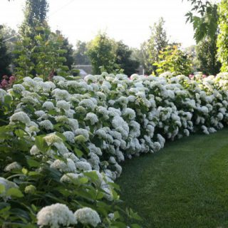 ballhortensie strong annabelle hydrangea arborescens. Black Bedroom Furniture Sets. Home Design Ideas