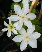 Waldrebe Baby Star, Clematis Baby Star