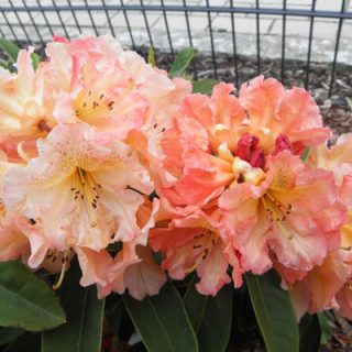 Rhododendron Sun Fire / Rhododendron hybride Sun Fire