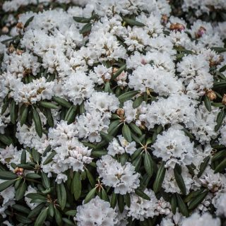 Rhododendron Falling Snow / Rhododendron yakushimanum Falling Snow