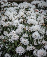 Rhododendron Falling Snow