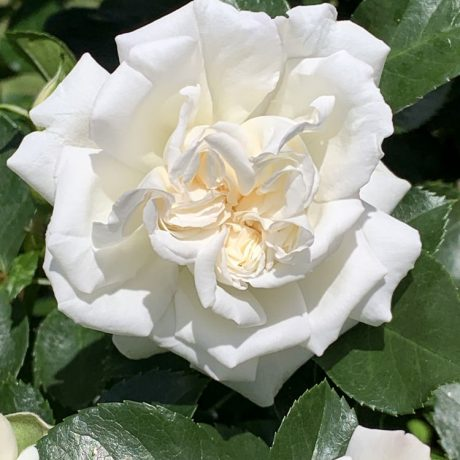 Rose White Meidiland