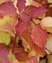 Hartriegel Winter Beauty, Cornus sanguinea Winter Beauty
