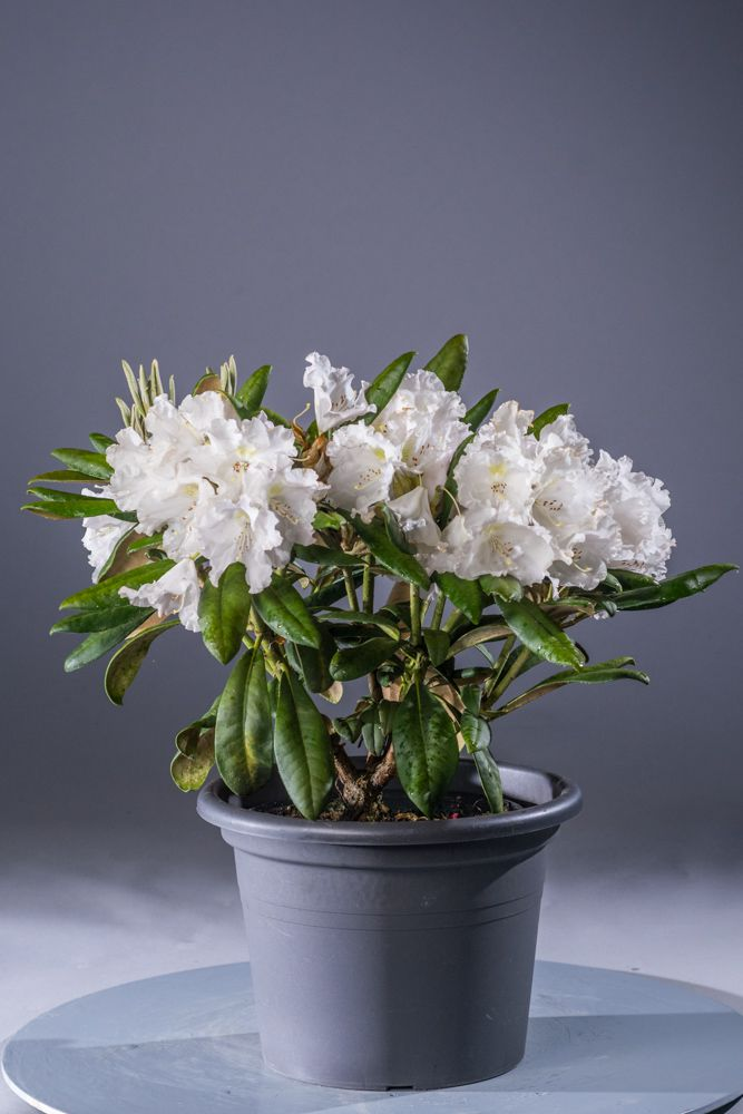 rhododendron silver lady rhododendron yakushimanum. Black Bedroom Furniture Sets. Home Design Ideas