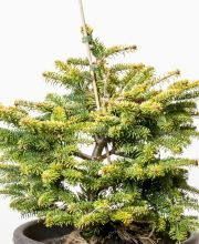 Nordmannstanne Golden Spreader, Abies nordmanniana Golden Spreader