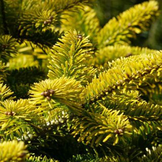Nordmannstanne Golden Spreader / Abies nordmanniana Golden Spreader