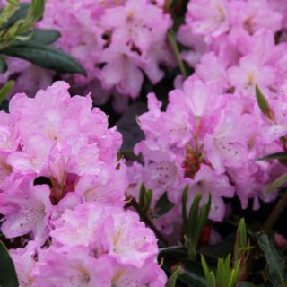 Rhododendron Rose Duft / Rhododendron Hybride Rose Duft