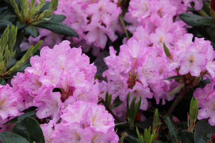 Rhododendron Rose Duft