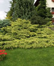 Goldener Strauch-Wacholder Gold Star, Juniperus media Gold Star