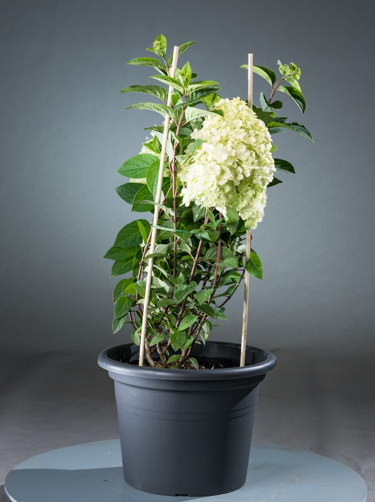 bauernhortensie bobo hydrangea paniculata bobo. Black Bedroom Furniture Sets. Home Design Ideas