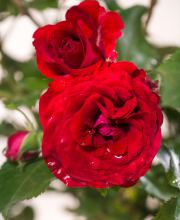 Rose Roter Drache ®