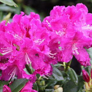 Rhododendron Lilofee / Rhododendron Hybride Lilofee