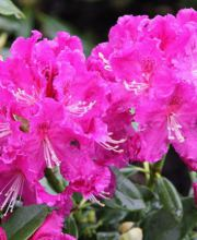 Rhododendron Lilofee