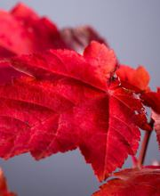 Rotahorn October Glory, Acer rubrum October Glory