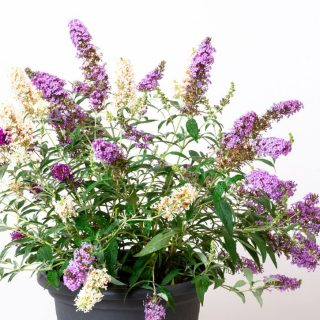 Sommerflieder Buzz TRIO / Buddleja Buzz TRIO