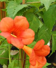 Trompetenblume, Campsis radicans