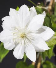 Waldrebe Duchess of Edinburgh, Clematis Hybriden Duchess of Edinburgh