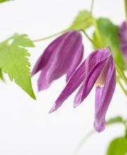 Alpenwaldrebe Ruby, Clematis alpina Ruby