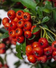 Feuerdorn Darts Red, Pyracantha Darts Red