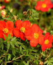 Fingerstrauch Red Ace, Potentilla fruticosa Red Ace