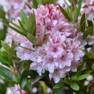 Rhododendron Bloombux ® (Pink) / Rhododendron micranthum Bloombux ® (Pink)