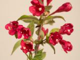 Zwerg-Weigelie All Summer Red ®, Weigela florida All Summer Red ®