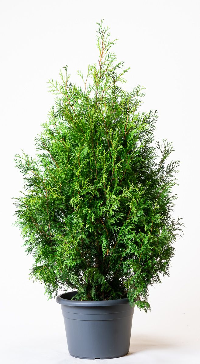 gr ner riesen lebensbaum thuja plicata atrovirens g nstig online kaufen. Black Bedroom Furniture Sets. Home Design Ideas