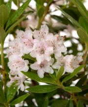 Rhododendron Nugget by Bloombux® pink
