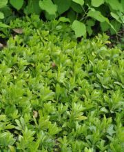 Schattengrün Green Carpet, Pachysandra terminalis Green Carpet