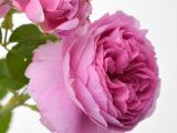 Strauchrose Louise Odier, Rosa Louise Odier