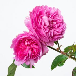 Strauchrose Louise Odier / Rosa Louise Odier