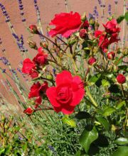 Strauchrose Royal Show