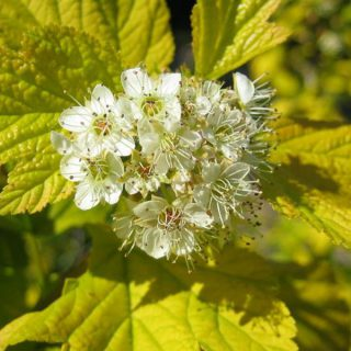 Blasenspiere Darts Gold / Physocarpus opulifolius Darts Gold