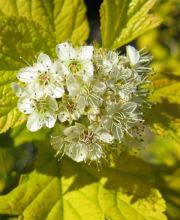 Blasenspiere Darts Gold, Physocarpus opulifolius Darts Gold