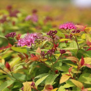 Sommerspiere Goldflame / Spiraea japonica Goldflame