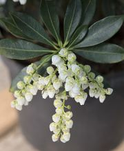 Schattenglöckchen Purity, Pieris japonica Purity