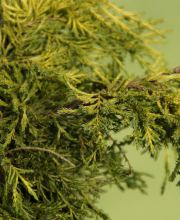 Gelber Strauchwacholder Gold Coast, Juniperus media Gold Coast
